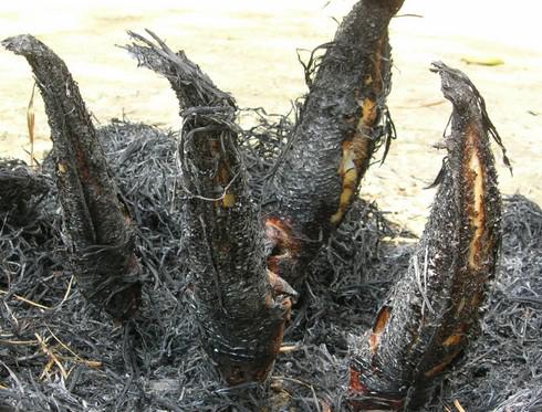Cá lóc nương trui